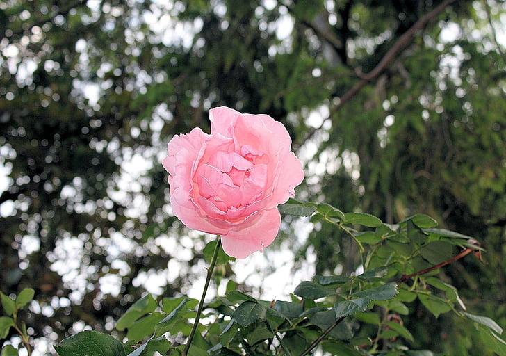 lilled, loodus, Seasons, tõusis, roosa, Bloom