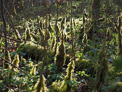 moss, bemoost, back light, forest floor, moss growth, fouling, undergrowth