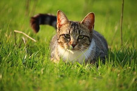 mačka, mače, skuša, tigar mačka, mačka beba, mlada mačka, domaća mačka