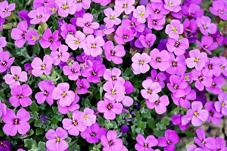 coixí blau, planta de jardí, porpra, Rosa, creuar la flors, jardí, planta ornamental