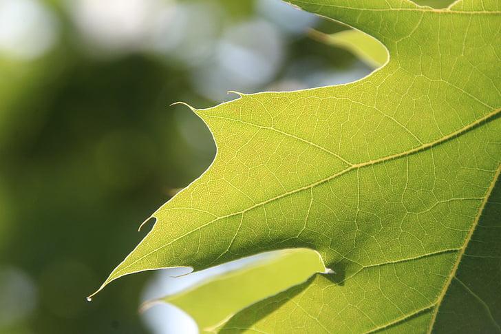 fulla, verd, fulla verda, planta