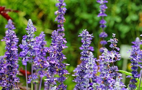 Sàlvia, planta, porpra, planta medicinal, verd, flors, curació de sàlvia