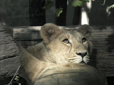 lion, lioness, cat, wildcat, großkartze, lion females, portrait