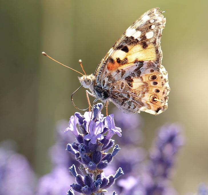Lavendel, liblikas, loodus, taim, õis, Bloom, suvel