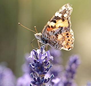 lavendel, vlinder, natuur, plant, Blossom, Bloom, zomer