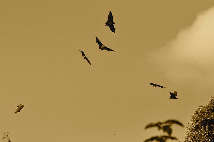 sikspārņi, lido, muša, spārni, Webbed, spārnu, dzīvnieku