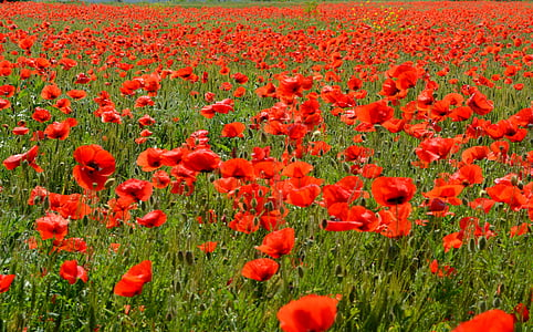 poppies, red, flower, camp, nature, field, tulip