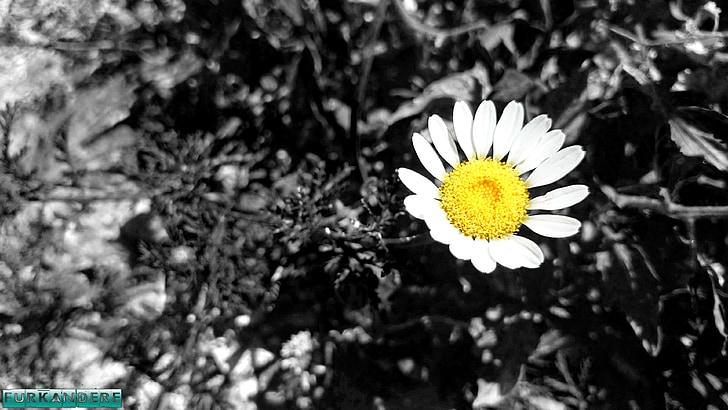 daisy, flower, flowers