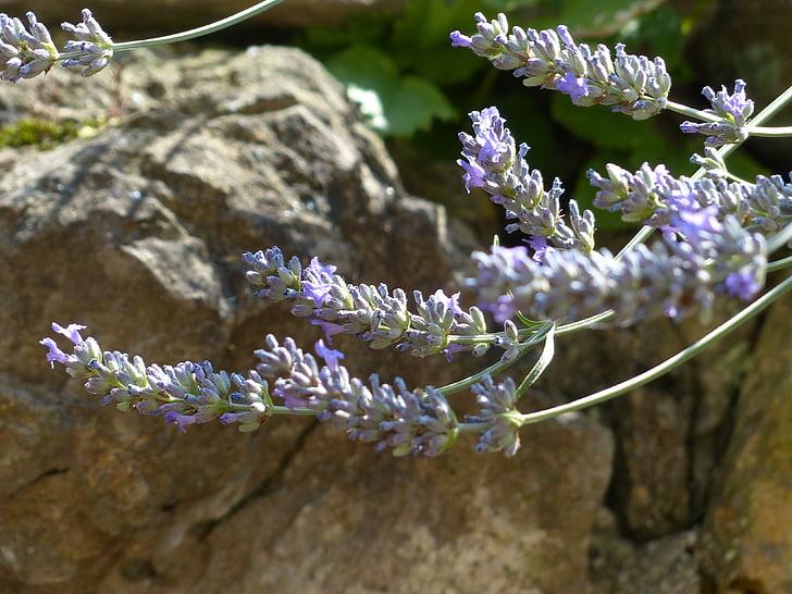 Levanda, levandų gėlės, vabzdžių, helllila, šviesiai violetinė, Žiedynas, tikrosios levandos