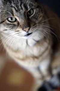 Katze, Blick, Schnurrbart, Bokeh, Tier, Katze, Katzengesicht