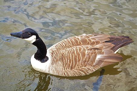 утка, животное, птица, Природа, Дикая природа, озеро, воды