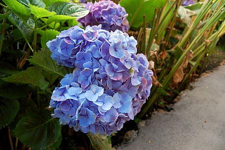 hortènsies, flor, flor de color blau, blau, planta, jardí, natura