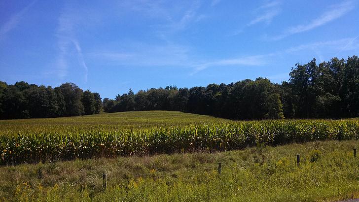 corn, cornfield, landscape