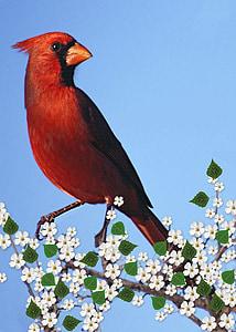 кардинал мъжки, цъфтежа клон, carddigital, изкуство, произведения на изкуството, природата, цифрови живопис