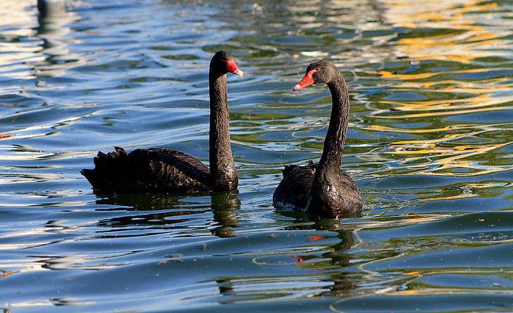 лебед, лебеди, черен лебед, вода птица, птица, води, езеро