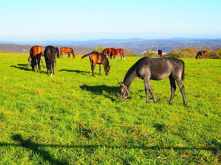 cavalls, les pastures, pastius, herba, verd, l'agricultura, idil·li