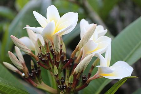 frangipani, Plumeria, blomst, anlegget, hvit, gul, naturlig