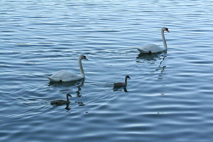 лебеди, schanfamilie, езеро, води, природата, вода, лебед