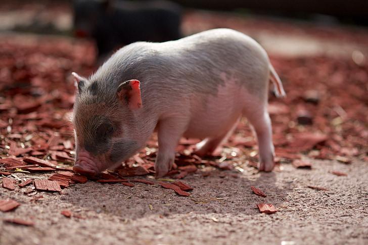sika, Nasu, Farm, kihara häntä, vaaleanpunainen, eläimet, Pet