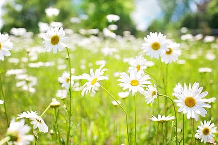 margarides, camp, natura, l'estiu, flors, flor, groc