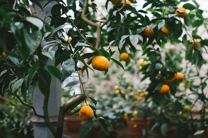 taim, puu, apelsinid, puuviljad, looduslik, aiandus, kasvu