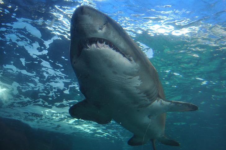акула, море, океан, підводний човен, небезпечні, тварин, зуби