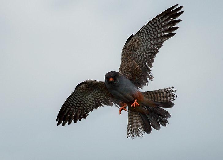 Raptor, Wild, punainen-jalkainen falcon, höyhenet