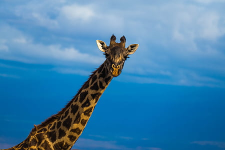 Àfrica, Safari, desert, vida silvestre, girafa, animals