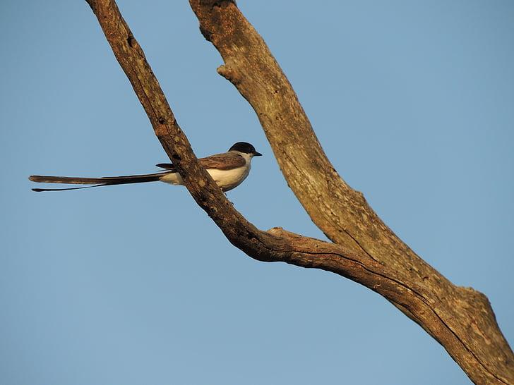 earwig, ocell, natura, ocells tropicals, aus tropicals, ocellet
