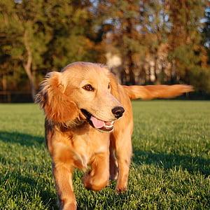 hund, kører hund, køre, dyr, glad hund, land, udendørs