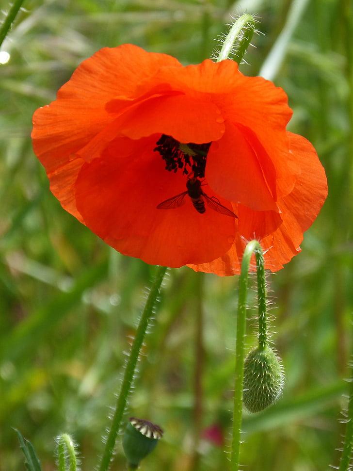 Rosella, xanthogramma, dípters, flor, Syrphidae, sírfid