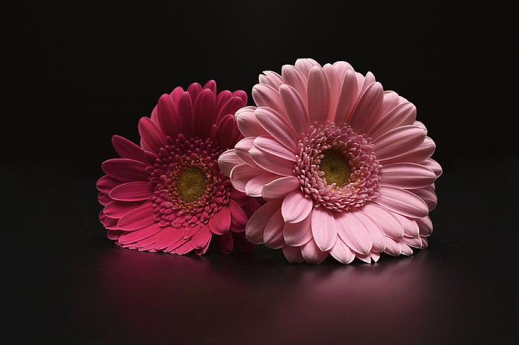 gerbera, flowers, pink, gerbera Daisy, daisy, petal, flower