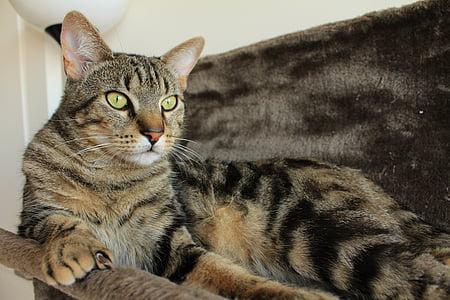 cat, tabby cat, animal, cat lying, feline, cat tree, cat yellow eyes