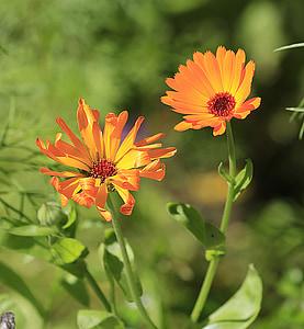 saialill, lill, suvel, Ilu, Lähis Joonis, soojuse, loodus