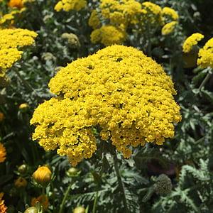 yarrow, water wise plant, summer plant, plant, achillea millefolium