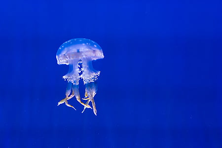аквариум, синьо, цвят, дълбоко, медузи, морски живот, океан