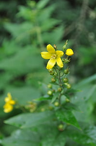 plant, wild plant, nature, green, field, flowers, yellow flower