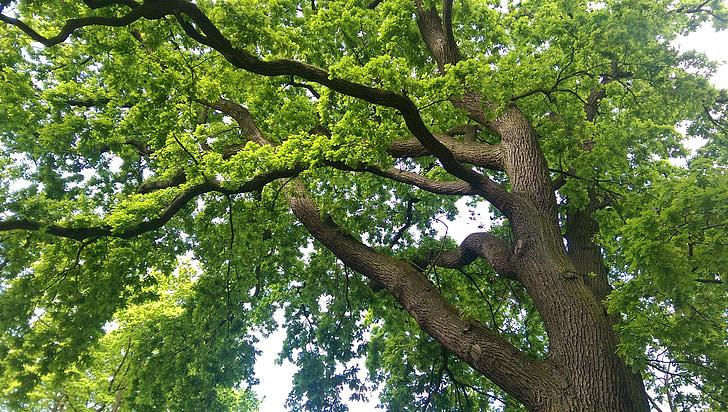 Выращиваем Священную Рощу. Первое дерево Tree-oak-nature-old-oak-preview