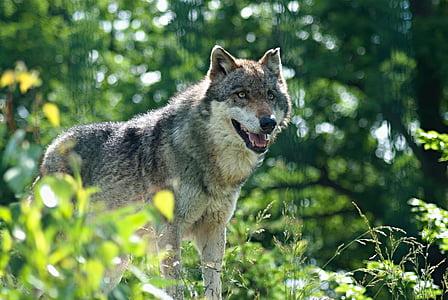 wolf, zoo, the zoological garden, zoo enclosure, animal, predator, deep n