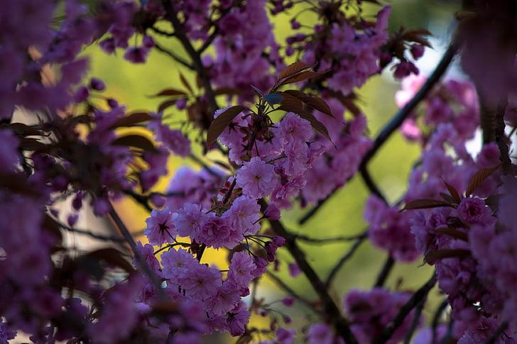 Jaapani kirss, Prunus serrulata, puu, Jaapani õitsemise kirss, kevadel, roosa, õis