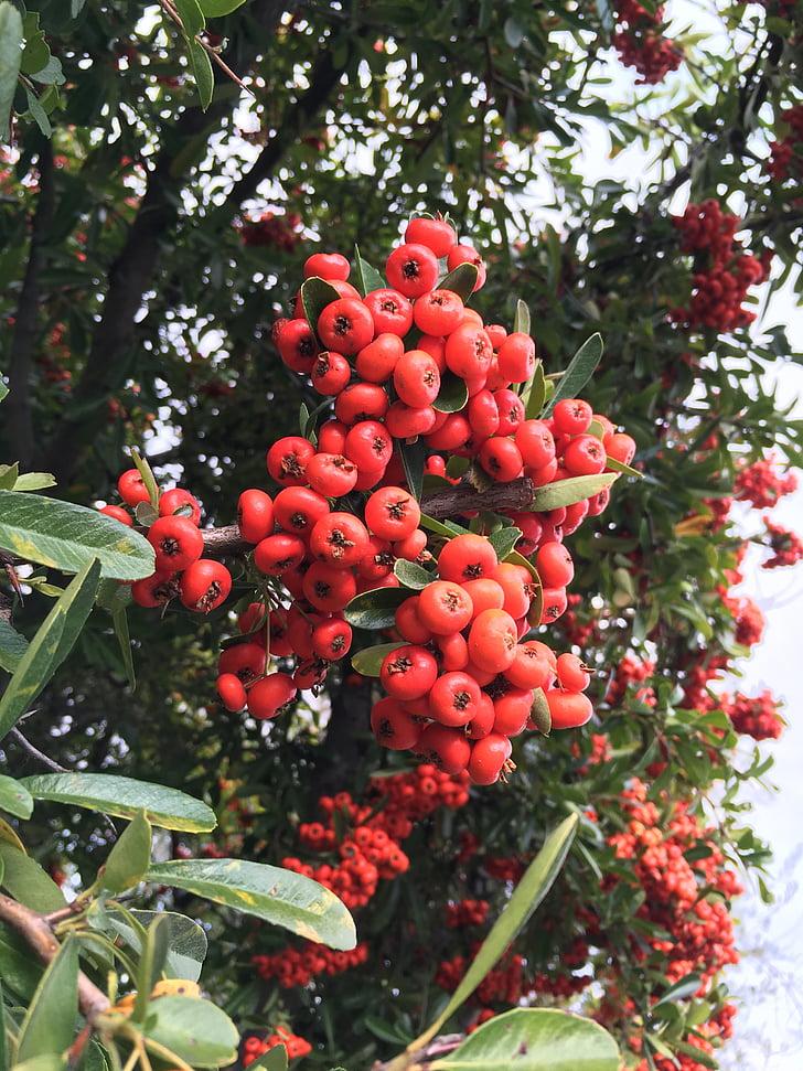 bogyó, zöld, őszi, szezon, ősz, bogyók, természet