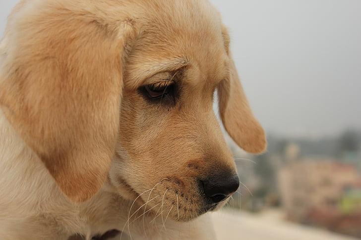 dog, looking, silent, labrador, brown eyes, close-up