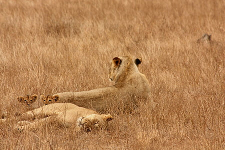 lion, animal, family, wild, mammal, safari, africa