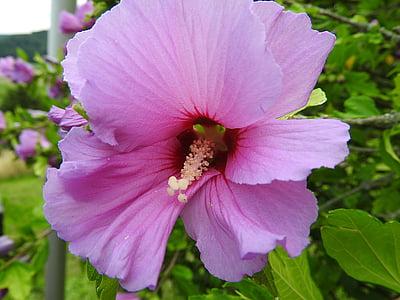alcearosea, ดอกไม้, สีชมพู, ชบา, ไม้ประดับ