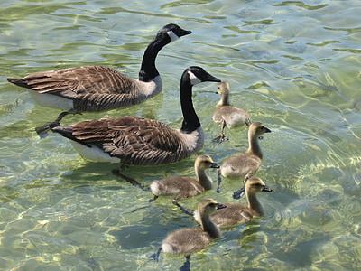 hanhet, Kanadan, uinti, vesi, Wildlife, vesilinnut, Linnut