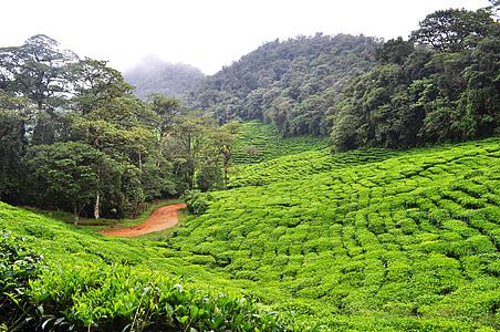 Dapa, zeleni čaj, Kolumbija, okoliš, priroda, Poljoprivreda, Azija