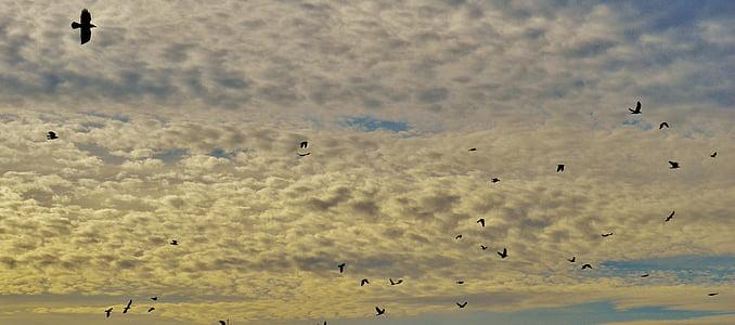 cielo, nubes, aves, volar, enjambre