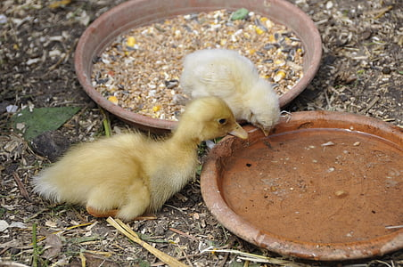 ducky, duck, chicks, chicken, nature, young animals, small