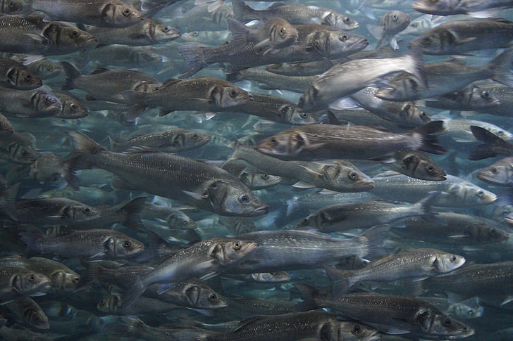 eixam, peix, eixam de peixos, Aquari, meeresbewohner, món submarí, junts