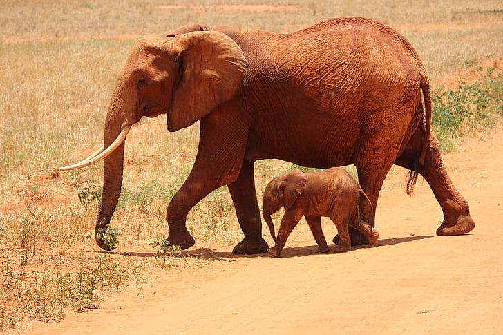 Gajah, Cub, Tsavo, Kenya, Sabana, Afrika, satwa liar